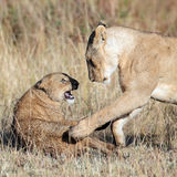 Lioness played with her cub. Masai Mara Game Reserve, Kenya Stock Photography