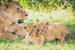 Lioness and playful cubs in Africa. stock photo