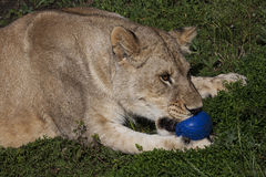 Lioness playing with blue ball Royalty Free Stock Photo