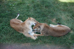 Lioness playing on the grass in a safari Royalty Free Stock Images