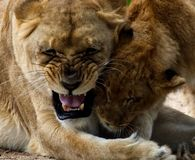 A lioness playing with her cub. stock photo