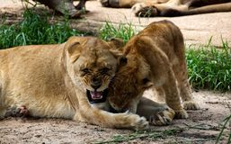 A lioness playing with her cub. stock photography