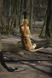Lioness playing with rope Stock Image