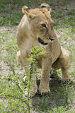 Lioness poops Royalty Free Stock Photos