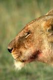 Lioness portrait Stock Images