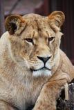 Lioness portrait. Big beautiful lioness portrait in a zoo Stock Photo