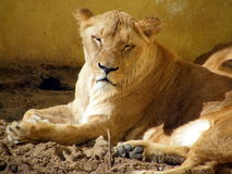 Lioness portrait. In the zoo Stock Image