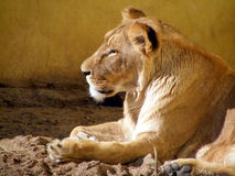 Lioness portrait. In the zoo Stock Photos