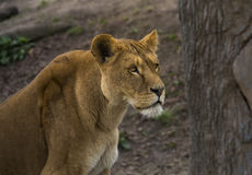 Lioness Portrait Stock Photography