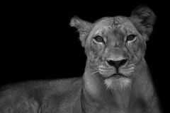 Lioness. Portrait with black background stock photography