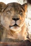 Lioness portrait, Kalahari desert, Namibia Stock Photography