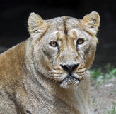 Lioness 4 Royalty Free Stock Images