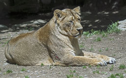 Lioness 5 Stock Images