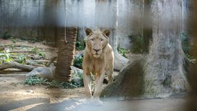 White South Africa Lion portrait looking straight into the camera, close up royalty free stock photos