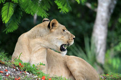 Lioness portrait. Portrait of lioness lying against a grass flower petal covered mound at Miami Metro zoo, south Florida. mouth open to pick up scent Royalty Free Stock Photography