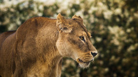 Lioness. Portrait of an older lioness, at the Copenhagen Zoo royalty free stock image