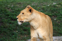 Lioness portrait in profile. At loal zoo with green grassy background Royalty Free Stock Photography