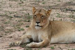 Lioness portrait in the savanna. South africa Royalty Free Stock Images