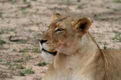 Lioness portrait in the savanna. South africa Stock Photo