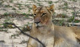 Lioness portrait. In the savanna - south africa Stock Image