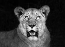 Portrait of african lioness. A lioness portrait taken in South Africa royalty free stock images