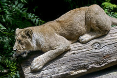 Lioness 6 Royalty Free Stock Images