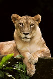 Lioness portriat. An African female lion cat in a relaxed pose, looking straight at the camera Royalty Free Stock Photos