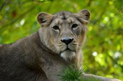 Lioness pretty portrait from Paignton Zoo. royalty free stock photos
