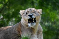 Lioness pretty portrait from Paignton Zoo. stock photography