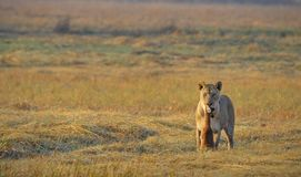 Lioness and prey. Royalty Free Stock Photo