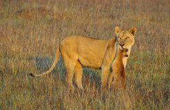 Lioness with prey. Royalty Free Stock Image