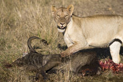 Lioness with Prey Stock Images