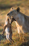 Lioness with prey. Botswana. Okavango Delta. Royalty Free Stock Photos