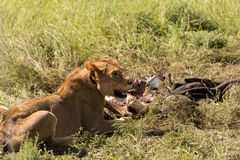Lioness with prey Royalty Free Stock Images