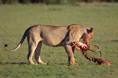 Lioness with prey Stock Image