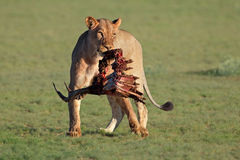 Lioness with prey Royalty Free Stock Photos