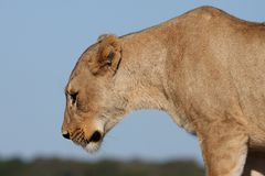 Lioness Profile Stock Photos