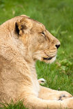 Lioness in profile Royalty Free Stock Photos