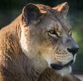 Lioness profile on a sunny day. Female lion profile at WI Big Cat Rescue Stock Photography