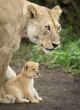 Lioness protecting her cub, Tanzania Stock Photos