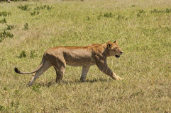 Lioness on the prowl stock images