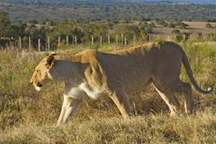 Lioness Prowling fotografie stock libere da diritti
