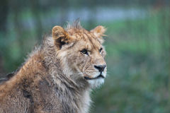 Lioness in the rain. Portrait. Royalty Free Stock Photography