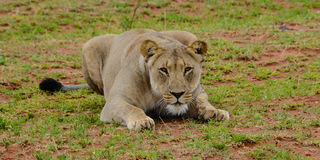 Lioness ready to spring Stock Images