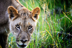 Lioness in the reeds. A lioness prowling in the reeds Stock Photos
