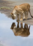 Lioness Reflection Stock Photos