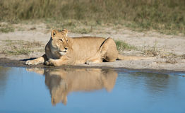 Lioness with reflection, Botswana Stock Photography
