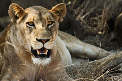 Lioness Relaxing. A lioness in South Africa relaxing in the sun Stock Photo