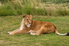 Lioness relaxing Royalty Free Stock Images