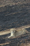 The Lioness relaxing. Lioness having a moment to her self Royalty Free Stock Image